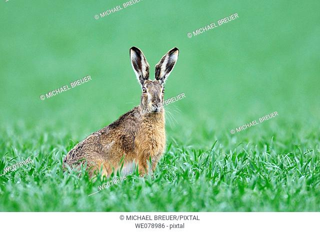 European brown hare in a grain field, Brown hare, Lepus europaeus, Germany