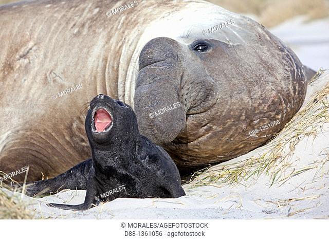 Falkland Islands , Sea LIon island , Southern Elephant Seal  Mirounga leonina
