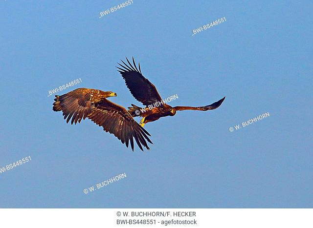 white-tailed sea eagle (Haliaeetus albicilla), two eagles fighting in the sky, Germany