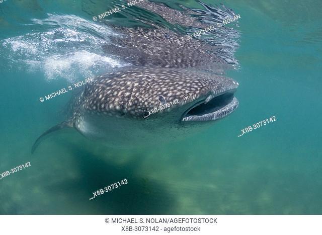 Young whale shark, Rhincodon typus, underwater at El Mogote, Baja California Sur, Mexico