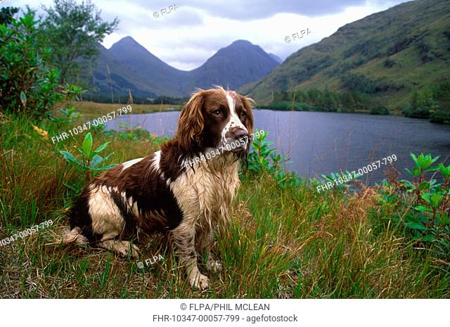 Springer Spaniel, adult sitting beside loch, Glen Etive, Scotland