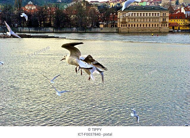 Czech Republic, Prague, Vltava, seagulls