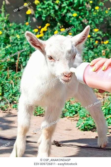 Drinking goat milk Stock Photos and Images   age fotostock