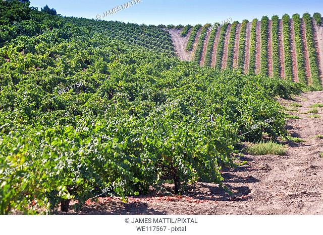 Rows of grape vines adorn the hills in California's wine country