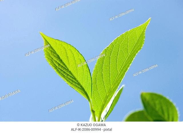 Japanese Stewartia Leaves against Blue Sky