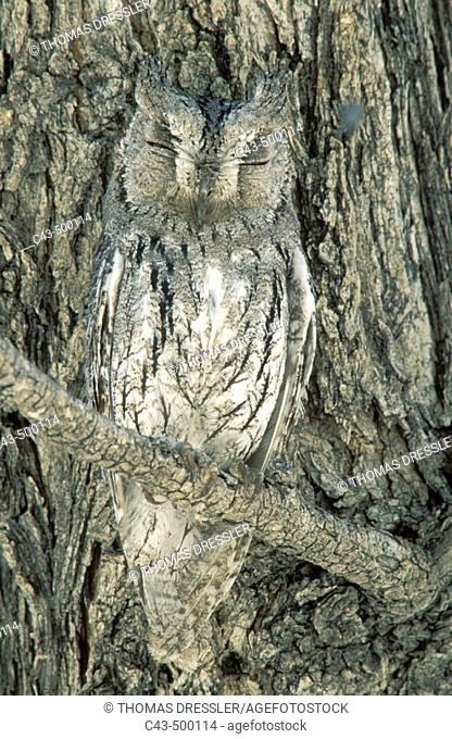 Scops Owl (Otus senegalensis); perfectly camouflaged when perching next to a tree trunk (Mopane, Colophospermum mopane). Etosha National Park, Namibia