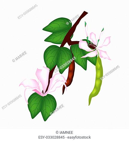 Beautiful Flower, Illustration of Pink Bauhinia Purpurea or Orchid Tree with Green Leaves Isolated on White Background
