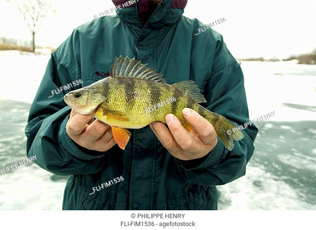 Man holding a Yellow Perch Perca flavescens Caught while Ice Fishing, Boucherville Islands Park, Quebec