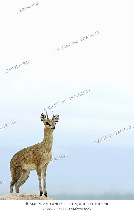 Klipspringer (Oreotragus oreotragus) standing on a rock wtih the Masai Mara in the background at dusk