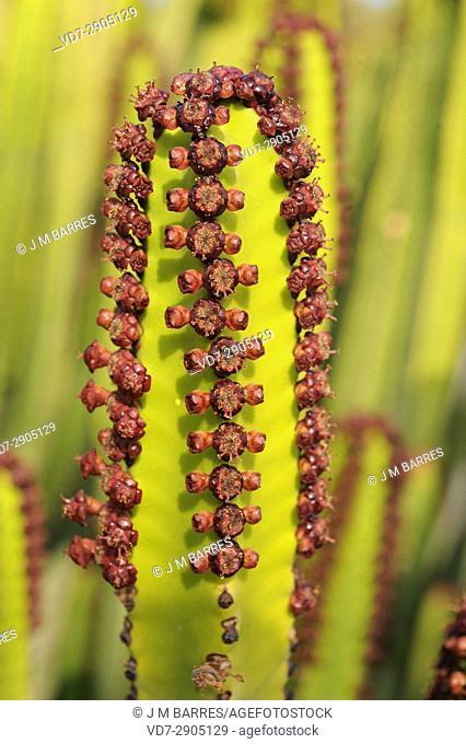 Cardon (Euphorbia canariensis) is a shrub endemic of Canary Islands, Spain. Flowers (cyathium) detail