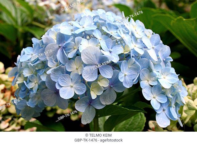 Flowers, hortencia, Imigrante Park, Nova Petropolis, Rio Grande do Sul, Brazil