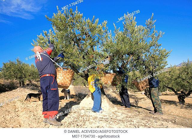 Olive harvesting, Alava, Spain