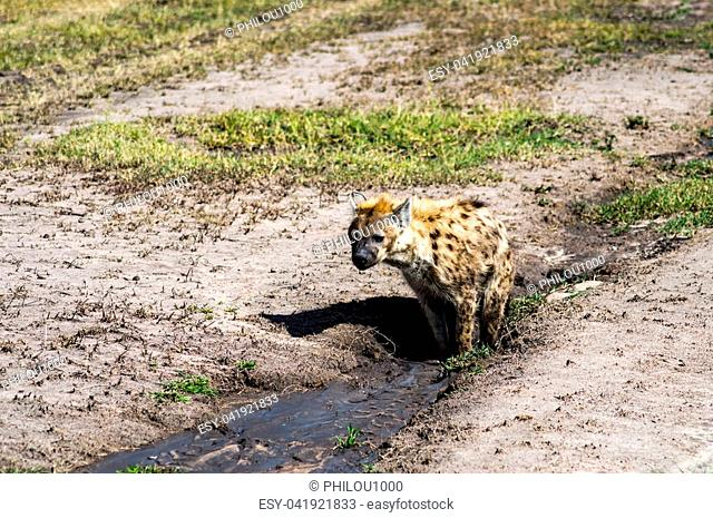 Hyena taking a mud bath in Maasai Mara Park in North West Kenya