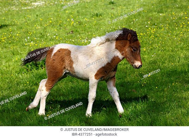 Foal, horse breed Icelandic horse (Equus przewalskii f. caballus), young animal, Lower Saxony, Germany