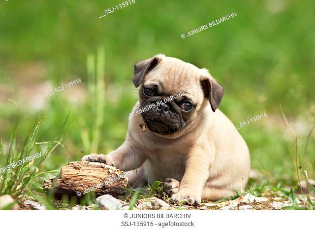 pug puppy - on meadow restrictions: Tierratgeber-Bücher / animal guidebooks