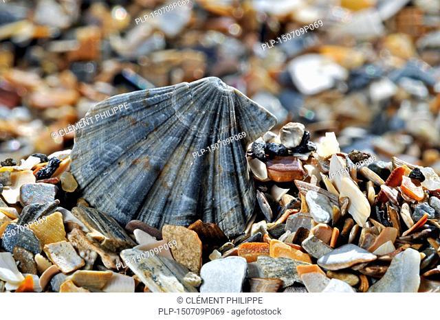 Flexopecten flexuosus shell on beach