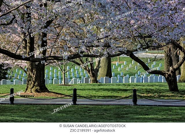 Cherry Blossoms at their peak adorn the head stones of our brave soldiers at Arlington National Cemetery in Virginia