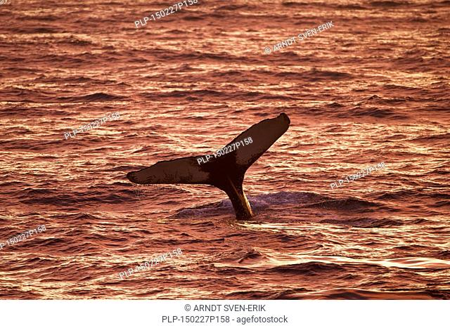 Humpback whale (Megaptera novaeangliae) lifting its tail flukes to dive for feeding at sunset