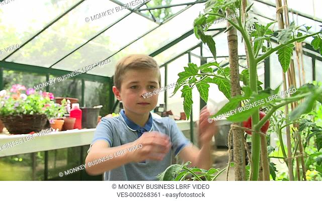 Boy collects ripe tomatoes from plants growing in greenhouse before putting them in pocket. Shot on Sony FS700 in PAL format at a frame rate of 25fps