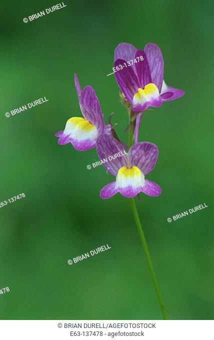 Blue Toadflax (Linaria canadensis). Ontario. Canada