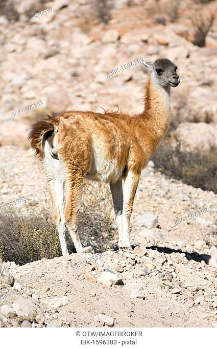 Guanaco (Lama guanicoe), Lauca National Park, Arica and Parinacota Region, Chile, South America