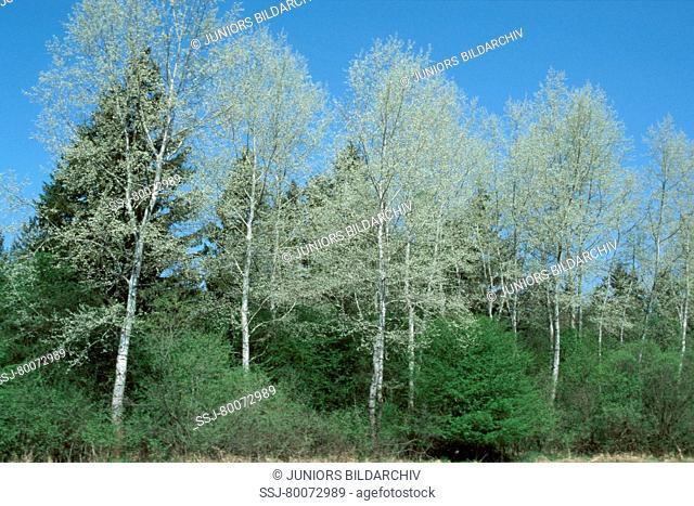 DEU, 2002: White Poplar (Populus alba), trees standing in a line