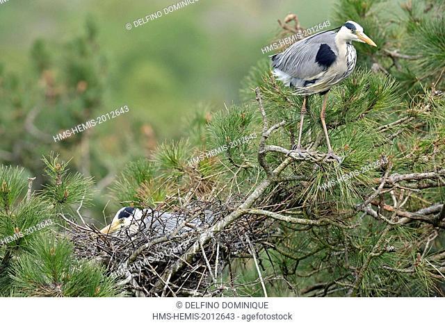 France, Somme, Baie de Somme, Grey Heron (Ardea cinerea), Marquenterre Park couple nesting atop a pine tree