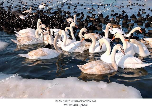 birds blocked by ice in frozen Black Sea, a rare phenomenon, last time it occured in 1977, Odessa, Ukraine, Eastern Europe