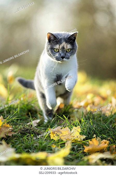 British Shorthair Cat. Tricolored adult leaping in leaf litter. Germany