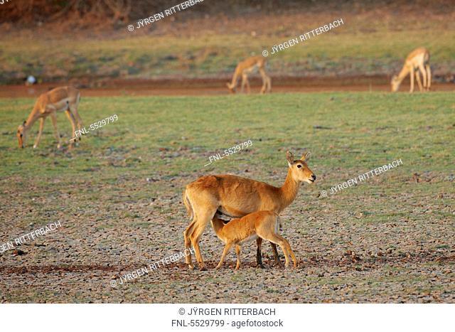 Pukus Kobus vardonii in the South Luangwa National Park, Zambia