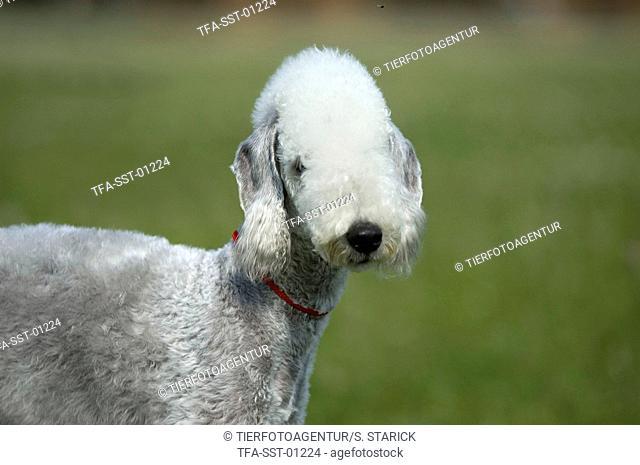 Badlington Terrier Portrait