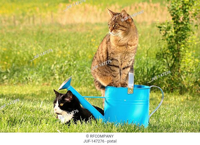 two domestic cats - next to watering can
