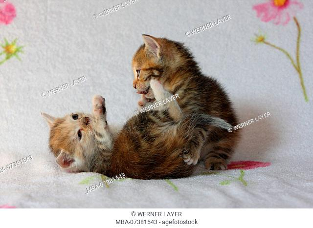 two young domestic cats playing