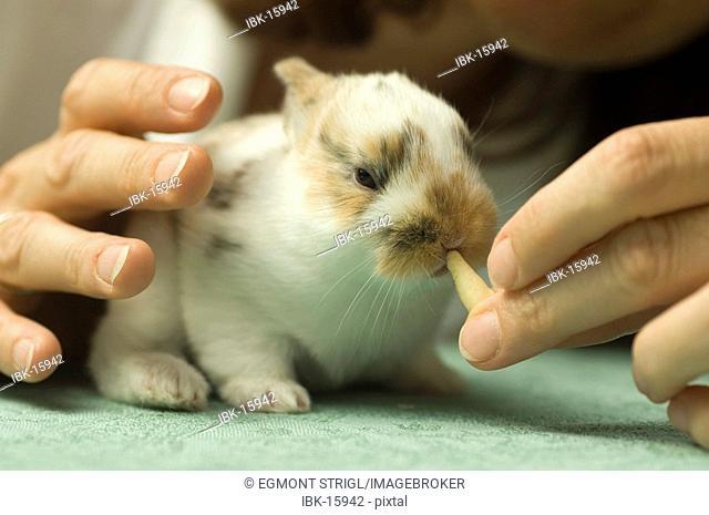 Dwarf rabbit, 10 days old, sitting on a table