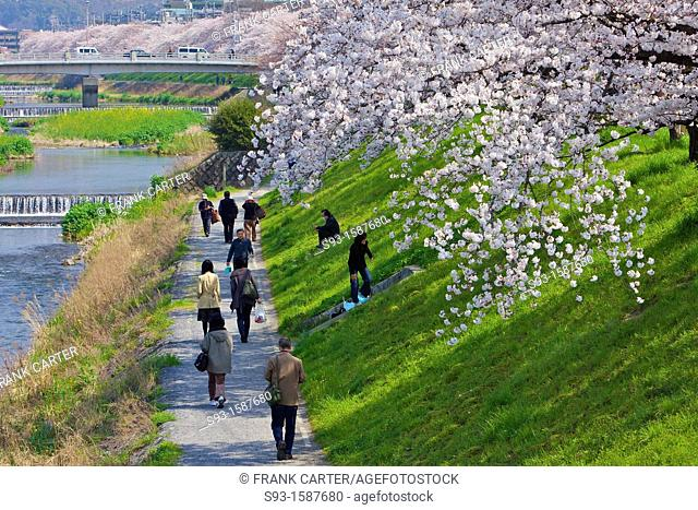 Cherry blossoms in full bloom beside the Takano river