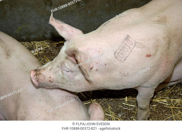 Domestic Pig, weaners with slap marks in market pen, England