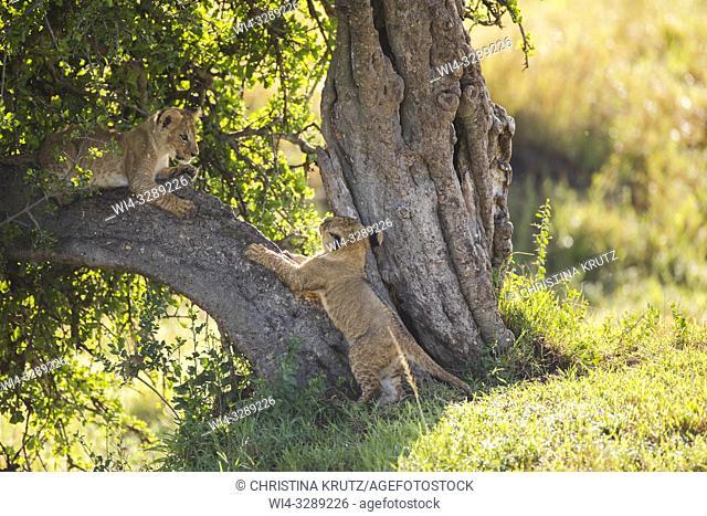 African Lion (Panthera leo) cubs, Maasai Mara National Reserve, Kenya, Africa