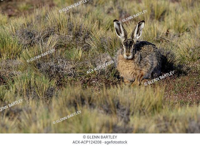 Hare , South America