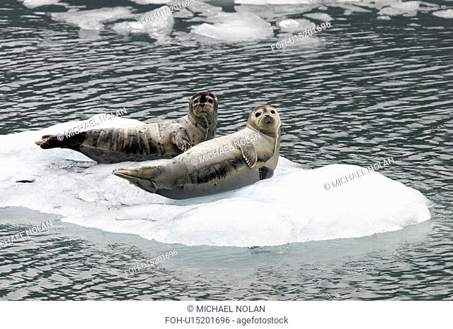 Harbor Seals Phoca vitulina on ice near Johns Hopkins Glacier, Glacier Bay National Park, Southeast Alaska, USA