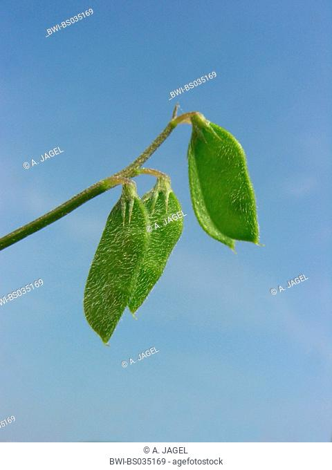 hairy tare, hairy vetch (Vicia hirsuta), fruits, Germany, North Rhine-Westphalia