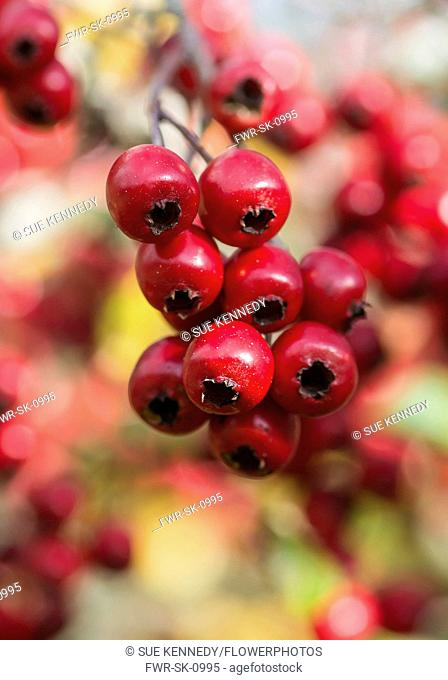 Hawthorn, Common hawthorn, Crataegus monogyna, Detail of red berries growing outdoor