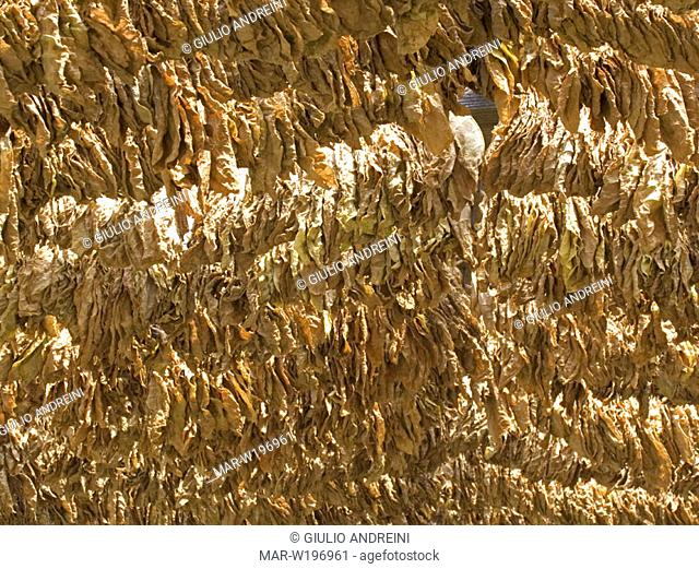 europe, greece, thrace, xanthi province, tobacco leaves