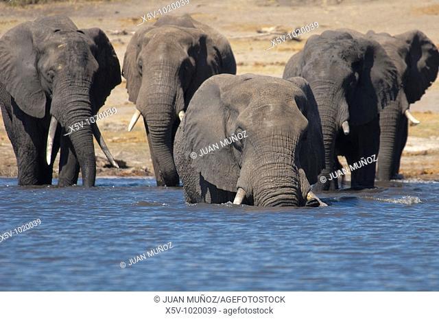 African elephant. Loxodonta africana. Okavango Delta. Africa