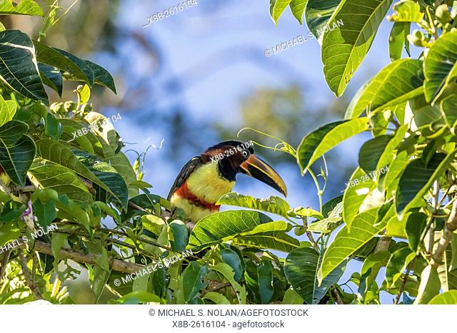 Chestnut-eared Aracari, Pteroglossus castanotis, within Iguazú Falls National Park, Misiones, Argentina, South America