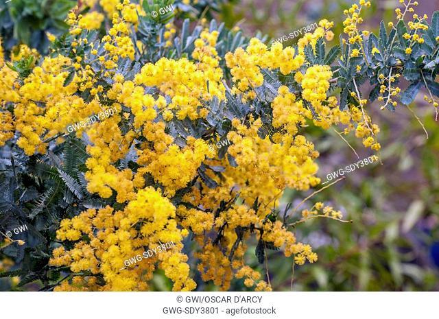 Bailey Wattle Acacia Baileyana Stock Photos And Images Age Fotostock