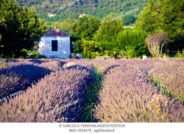 Blooming field of Lavender Lavandula angustifolia Provence-Alpes-Cote d'Azur, Southern France, France, Europe, PublicGround