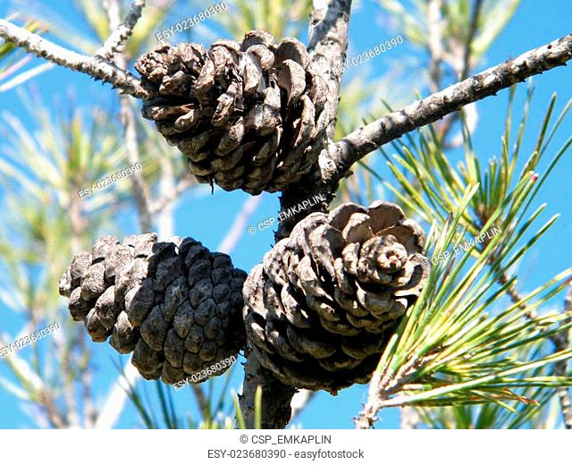 Shoham Three Fir cones 2011