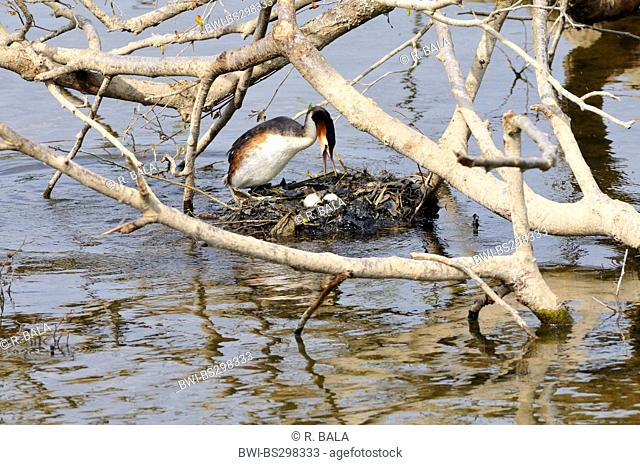 great crested grebe (Podiceps cristatus), in the nest, Germany, North Rhine-Westphalia
