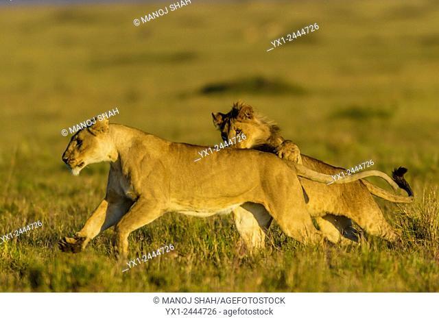 lions play fighting early morning. Masai Mara National Reserve, Kenya