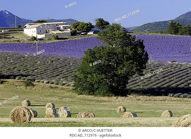 Lavender fields and bales of straw Provence Southern France Lavendula angustifolia